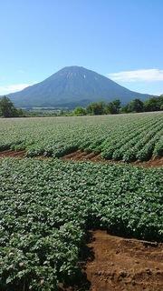 羊蹄山 芋畑.JPG